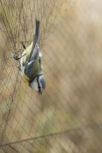 Vogels worden gevangen in (tijdelijke) netten